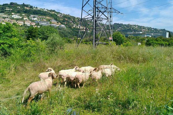 L'entretien de la végétation avec des moutons, c'est tendance et c'est le choix d'RTE.