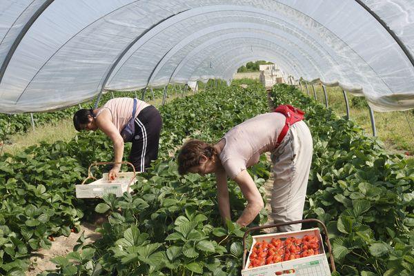 La récolte des fraises commence fin avril