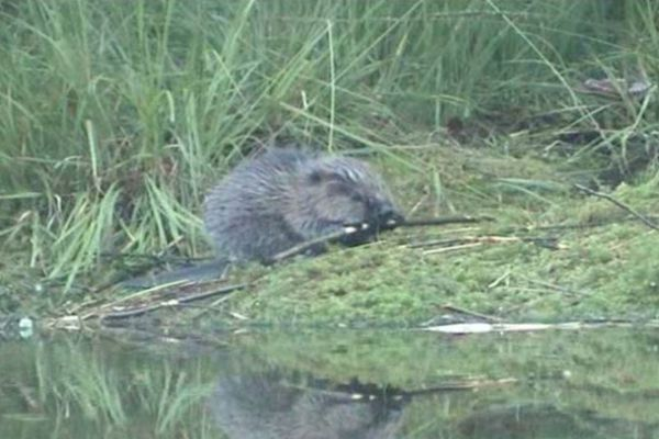 Le retour du castor en Picardie