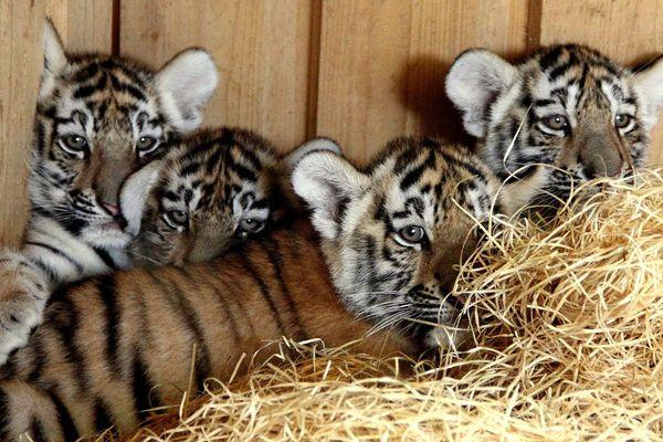 Les quatre tigres de l'Amour au zoo de Hluboka, en République Tchèque, peu de temps après leur naissance.