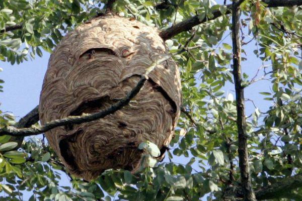 Un nid de frelons asiatiques près de Toulouse, en 2009.  (MAXPPP)