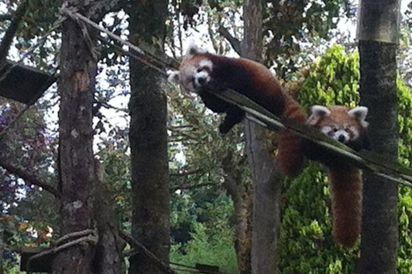 Ying et Yang sont nés le 22 juin dernier au parc zoologique du Cerza, près de Lisieux