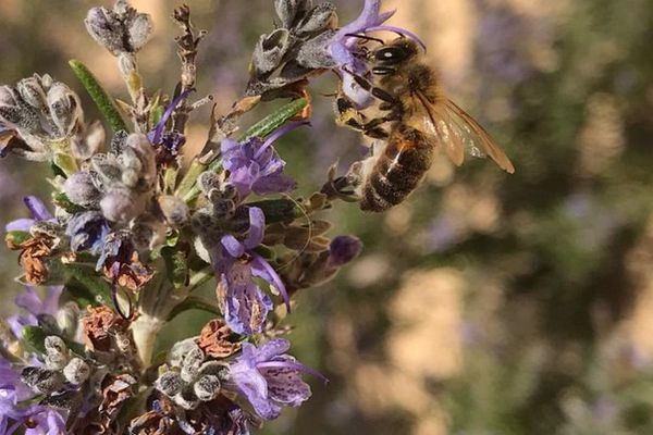Avec l'arrivée du printemps, les abeilles sont de retour dans les jardins.