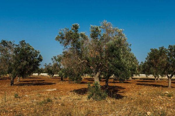 La bactérie Xylella fastidiosa a décimé des milliers d'oliviers en Italie.