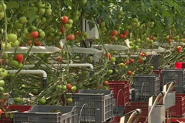 Serre de tomates à Basse-Goulaine (44)