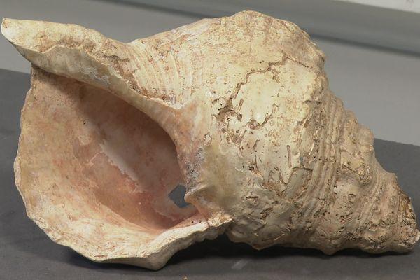 Les scientifiques mènent des recherches sur ce coquillage, en apparence une simple conque. Il faisait partie des collections du museum de Toulouse depuis 80 ans et on a récemment découvert que les premiers sons qu'il a produits remontent à 18 000 ans.