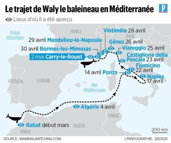 L'incroyable périple de ce baleineau perdu en Méditerranée, très loin du Pacifique Nord, son océan natal, retracé par nos confrères du Parisien.