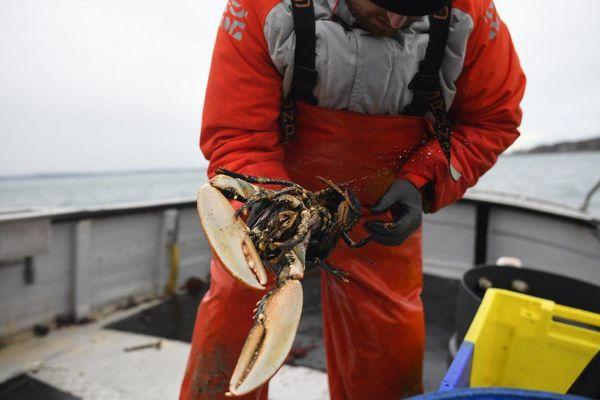 Belle pièce pour Julien Robin à la pêche au homard en baie de Paimpol (22)