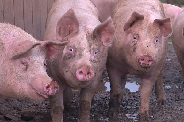 Depuis un an, une filière porc de plein air renaît dans le Morvan.