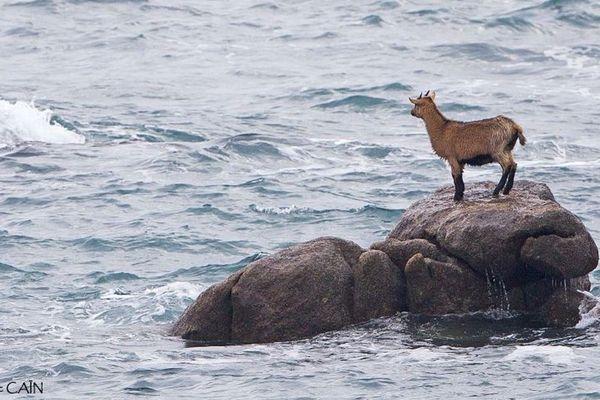 Sauvetage chèvre Ouessant : la chèvre s'est retrouvée coincé sur un rocher