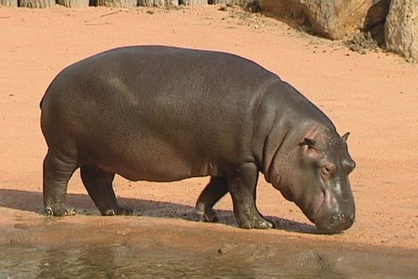 L'un des deux hippopotames nouveaux locataires du zoo de Beauval