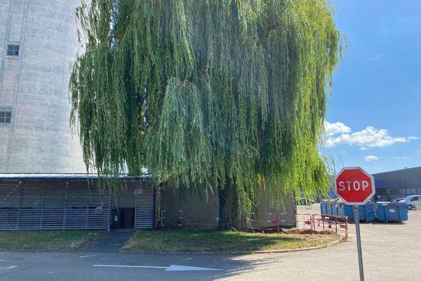 L'arbre en question menacé d'abattage. Les élèves ont dit stop à sa fin de vie annoncée. Au lycée François 1er de Vitry-le-François.