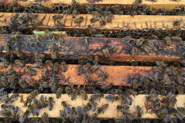 La transhumance solidaire des abeilles