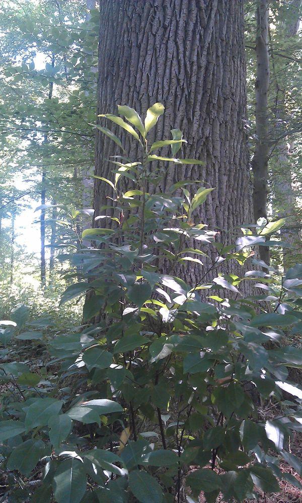 Semis de cerisier tardif sous un chêne de la forêt de Compiègne, dans l'Oise.