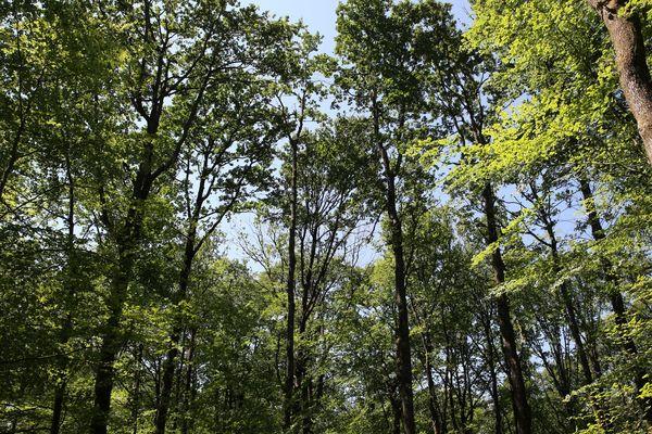 La forêt est un écosystème complexe et fragile, comme ne le montrent pas ces grands chênes en forêt du Gâvre