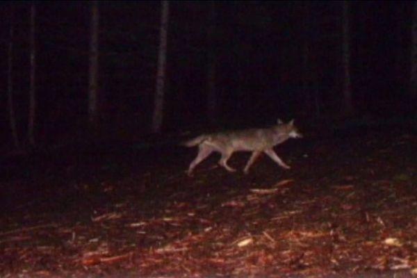 Fin mai, ce cliché d'un loup a été pris par un piège photographique, à Ranrupt.