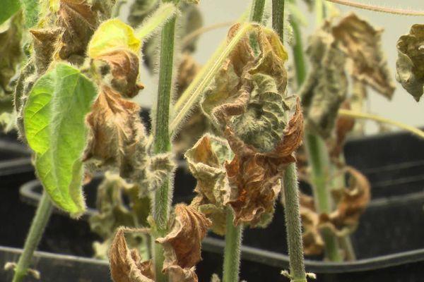 Le produit conçu, en Charente, par Agribiotech Ellicit sert à combattre le stress hydrique des plantes de grandes cultures comme le soja.