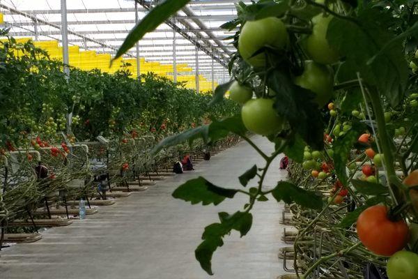 """A Salon-de-Provence, Monique Aravecchia produit des tomates garanties """"Zéro Résidu de Pesticides"""" sous serre et hors-sol."""