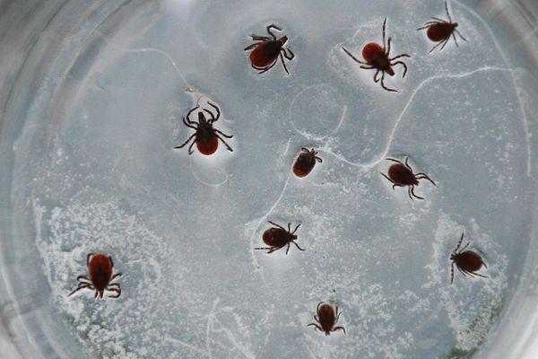 La tique, à l'origine de la maladie de Lyme