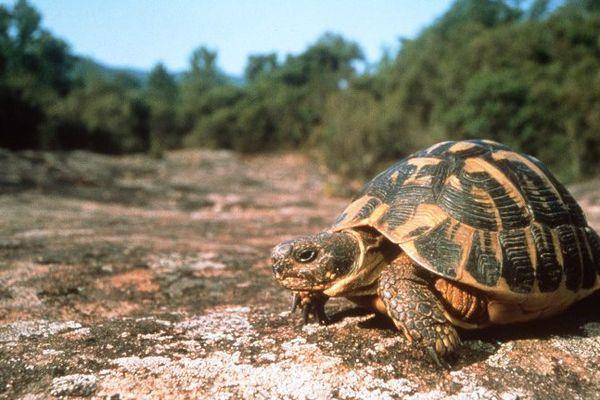 Grâce aux tortues, les populations sauvages se reconstituent.