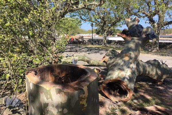 Un tronc d'envergure totalement creux malgré une écorce encore verte.