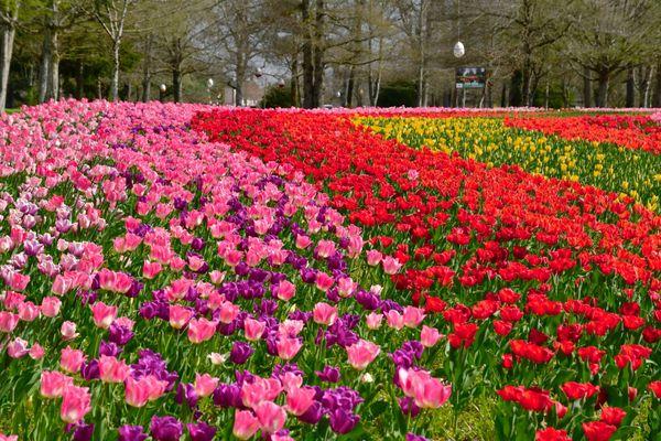 En 2021, 100 000 bulbes tulipes de plus ont été plantés dans le parc du château de Cheverny.