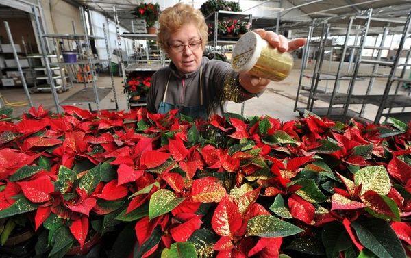 Une employée de Gaignard Fleurs prépare les Poinsettias en vue des célébrations de Noël