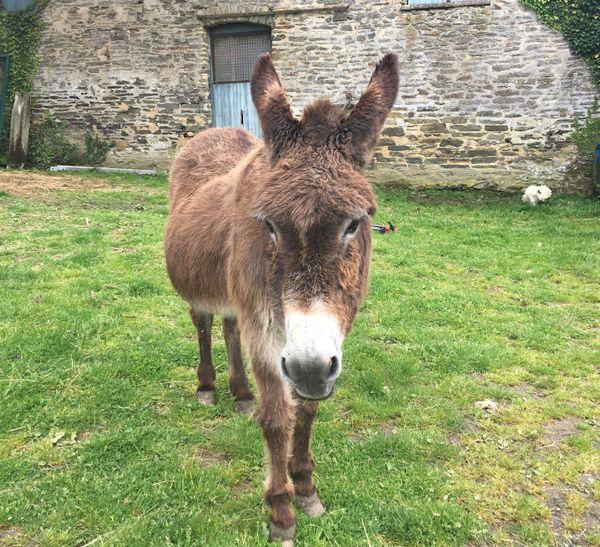 Modestine, 35 ans, la plus âgée des ânesses normandes de l'élevage du Val d'Elle à Bérigny (50)