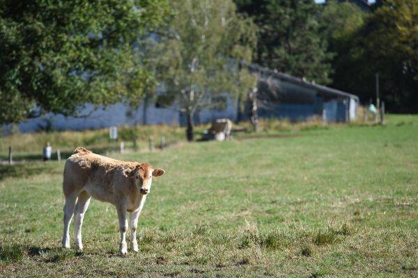 Un veau a été retrouvé mort, éventré, à Chaniat en Haute-Loire samedi 5 décembre au matin. (Photo d'illustration)