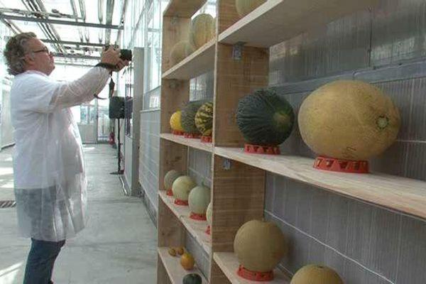 Le melon sous toutes les coutures !