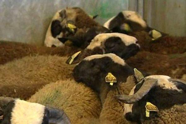 Au Sommet de l'Elevage d'Auvergne, les éleveurs et les professionnels étrangers sont avides de se rendre à la ferme pour mieux étudier les conditions d'exploitation des animaux.