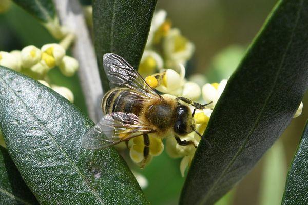 Une abeille pleine de pollen butinant une fleur d'olivier, une image rare en Normandie ces derniers mois.