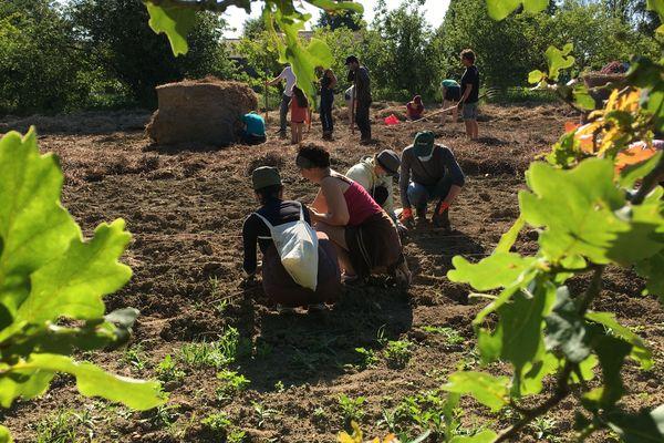 350 plants de pommes terre bio seront plantés par les bénévoles sur les communes de la Chapelle-Heulin et Monnières, dans le vignobles nantais