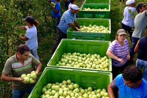 Ramassage de pommes dans le Minervois dans l'Aude