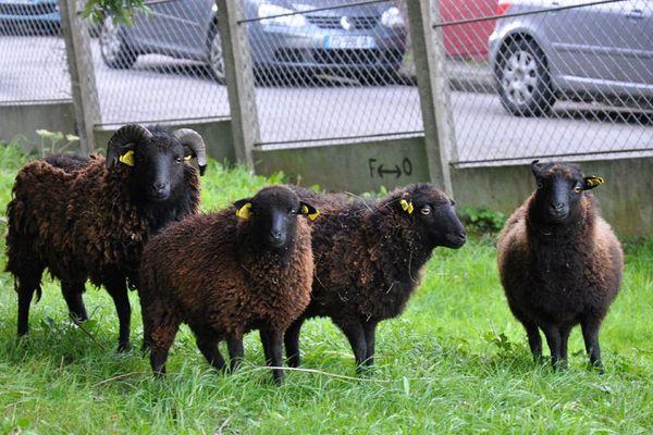 A Dieppe, des moutons ont été installés au coeur de la ville pour favoriser l'éco pâturage.