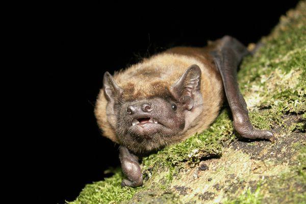 La noctule commune, une espèce de chauve-souris en voie de disparition, particulièrement menacée par la présence de parcs éoliens lors de sa migration.