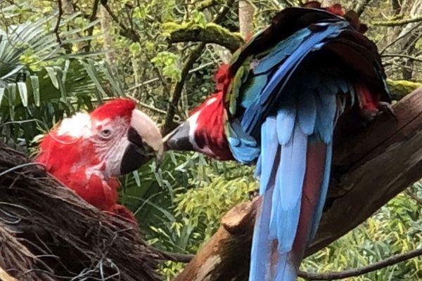 L'ara chloroptère est l'une des nombreuses attractions du zoo de La Flèche.