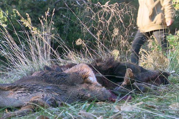 Terrats (Pyrénées-Orientales) - un charnier de sangliers découvert en bordure de forêt - 24 novembre 2020.