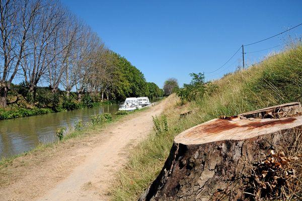 L'abattage des platanes malades du chancre coloré sur le canal du Midi, ici dans l'Aude.