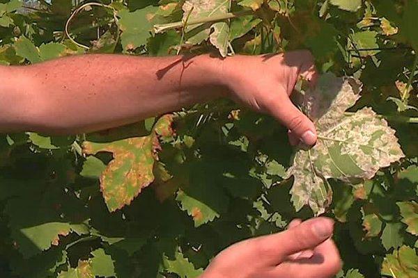 Le mildiou attaque les vignes de l'Hérault - 2018.