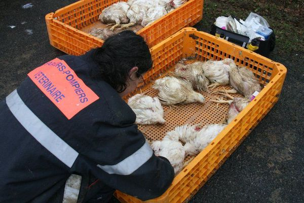 Environ 1500 poulets sont morts dans l'accident du camion, qui roulait vers l'abattoir.