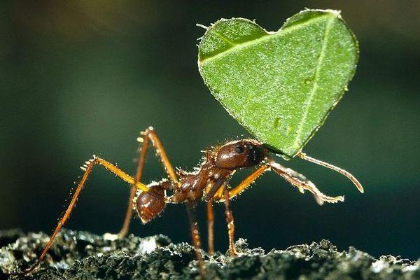 Valentines Day Ants