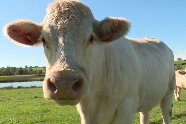 Cette charolaise d'une ferme de Saône-et-Loire n'est pas l'heureuse élue.