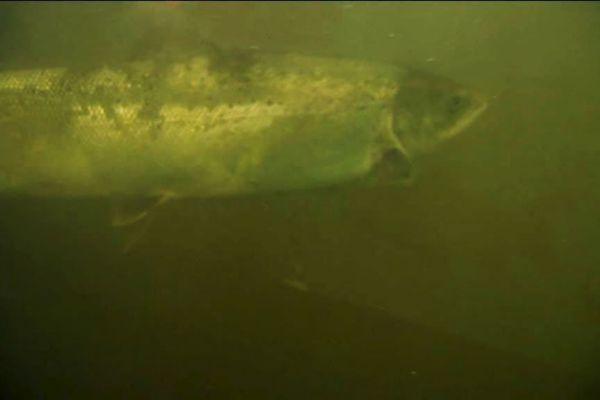Un saumon sauvage remonte la Dordogne