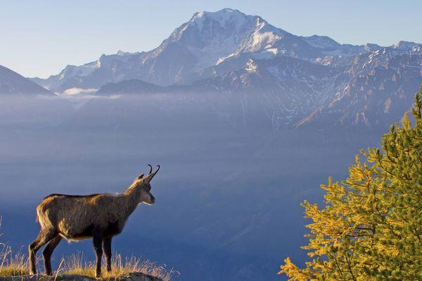 Les gardes du parc de la Vanoise, en Savoie, vont utiliser une nouvelle méthode de comptage pour mieux estimer le nombre de chamois.
