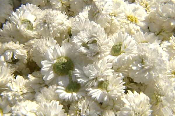 Fleurs de camomille récoltées