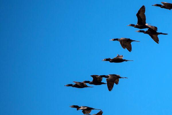 Migration d'oiseaux sauvages.