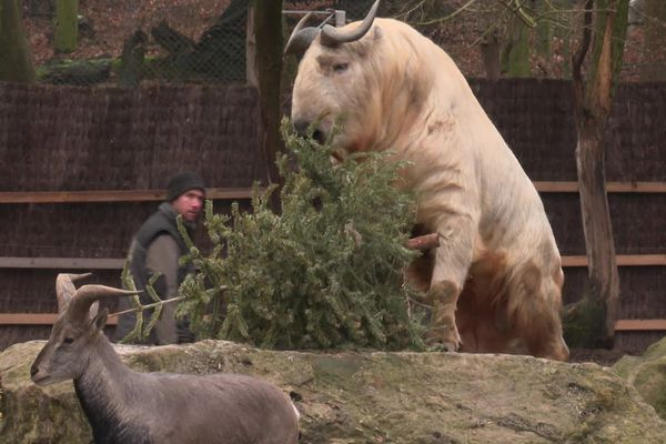 The takin, originally from China, feasts on conifers.