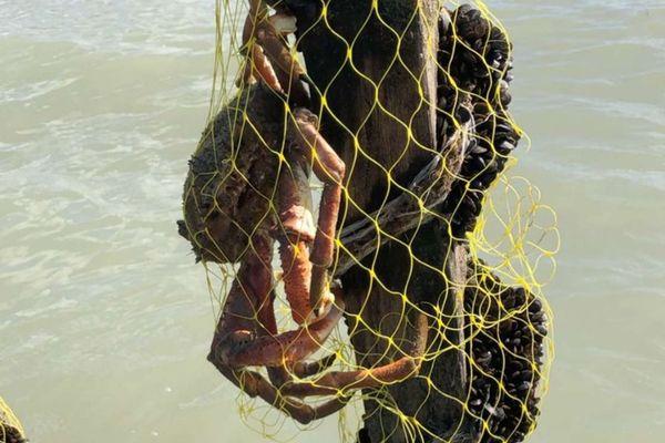 Les araignées à l'attaque des moules dans la Manche