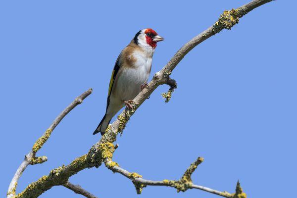 Les chardonnerets élégants sont des oiseaux très convoités par les trafiquants.